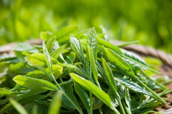Uống trà xanh có rất nhiều lợi ích và nó cũng giúp cải thiện làn da của bạn